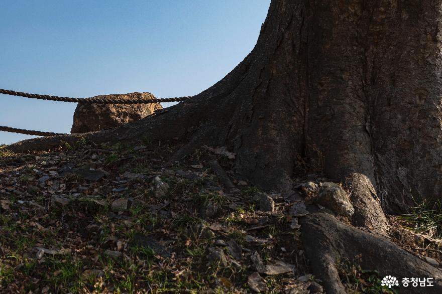 무거운 돌짐진 느티나무 고목