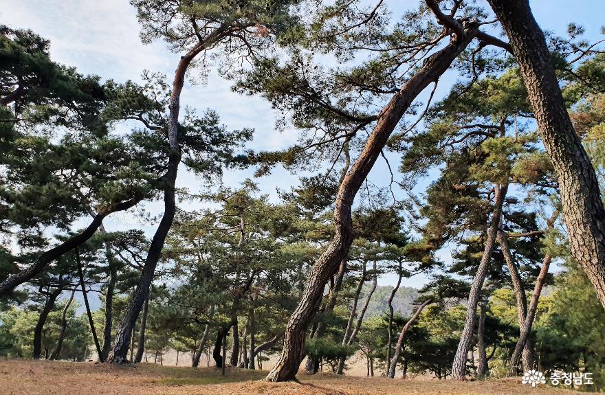 소나무숲 보며 산책하는 곳, 고마나루 7