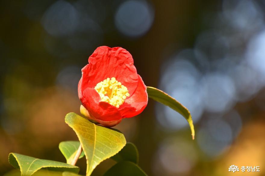 천리포수목원 동백꽃
