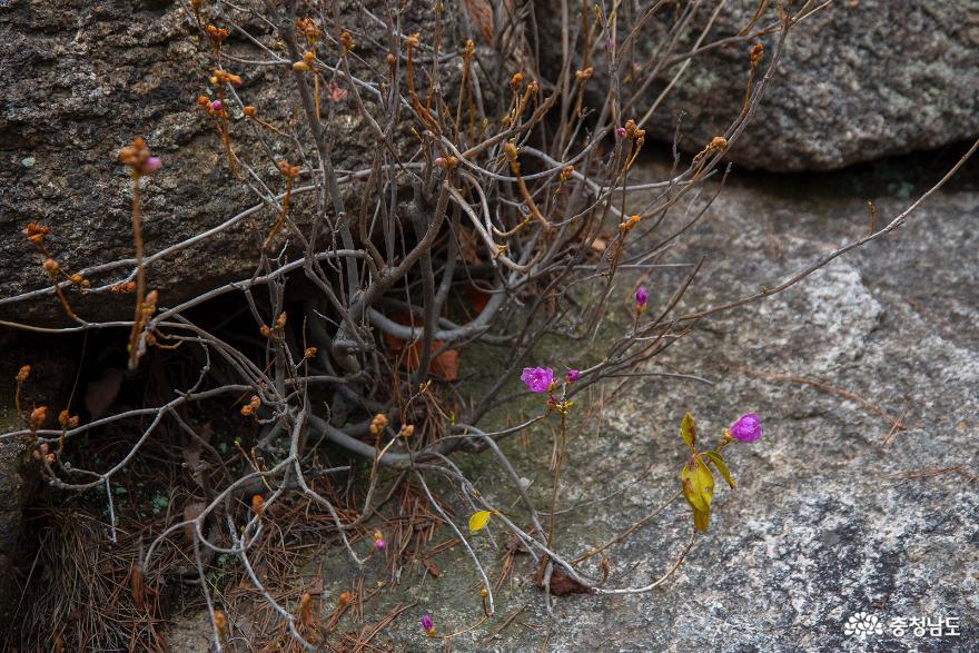 바위틈에 피어나는 진달래꽃