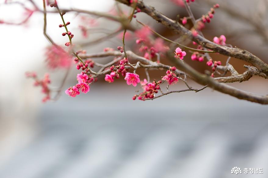 공주한옥마을의 봄