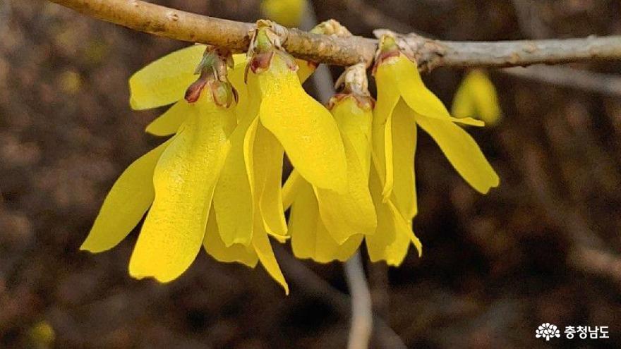 노오란 색으로 봄을 부르는 '희망'의 꽃들
