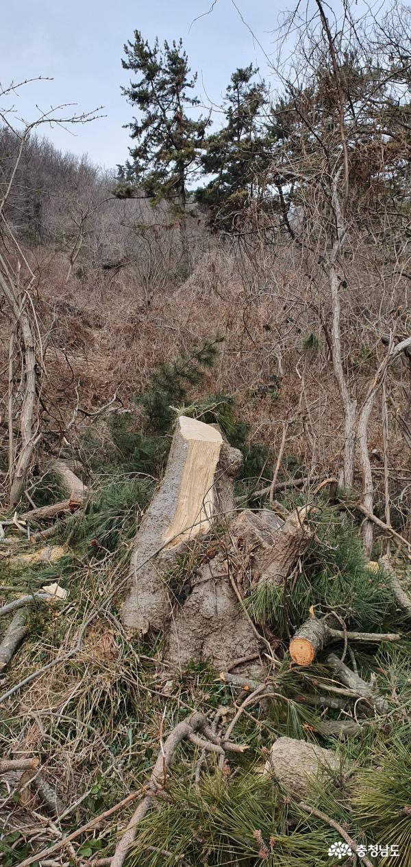 [충남]국립공원 보물 가의도 나무들, 산채로 잘려나가