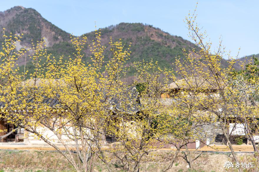 노오란 산수유가 가득 핀 외암민속마을 주차장