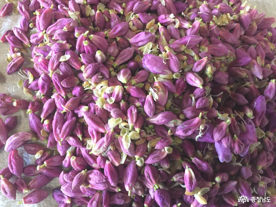따온 진달래꽃봉오리들