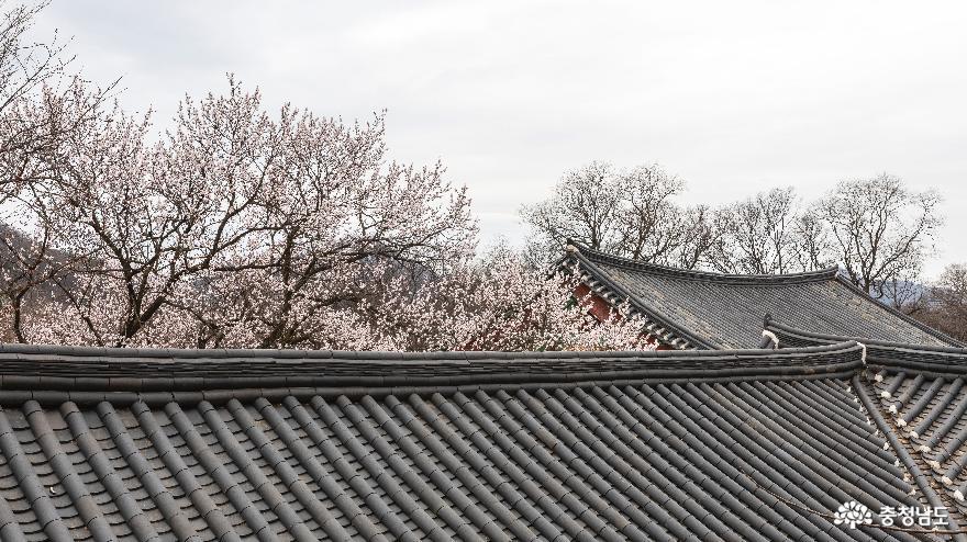 벚꽃을 품은 갑사의 아름다운 봄
