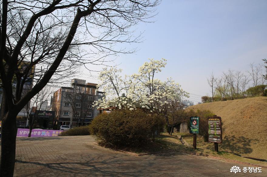 봄꽃이 피어 있는 천안 두정동 유적지에서 4