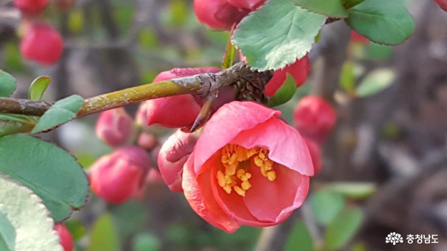 아산 신정호에 자생하는 봄맞이 꽃나무 알아보기