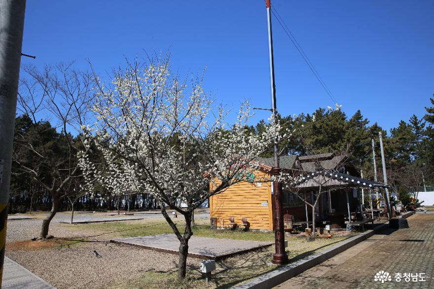 치유가 되는 서천의 봄풍경이 그려지는 곰솔숲