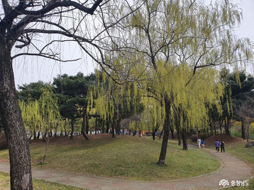 버들나무가 많은 천안 제1경 삼거리공원 사진