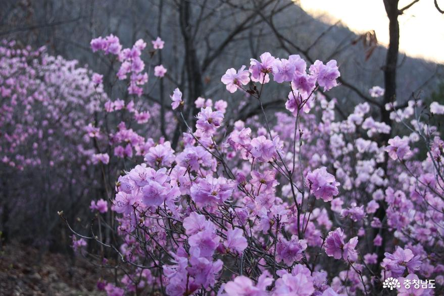 연분홍빛 진달래꽃 만발한 아산 고용산 사진