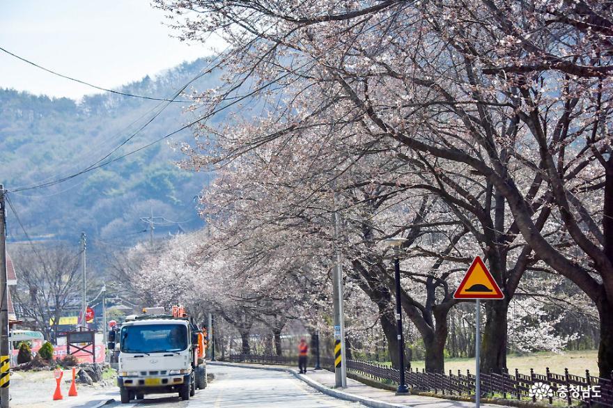 드라이브 스루로 즐기는 동학사 벚꽃