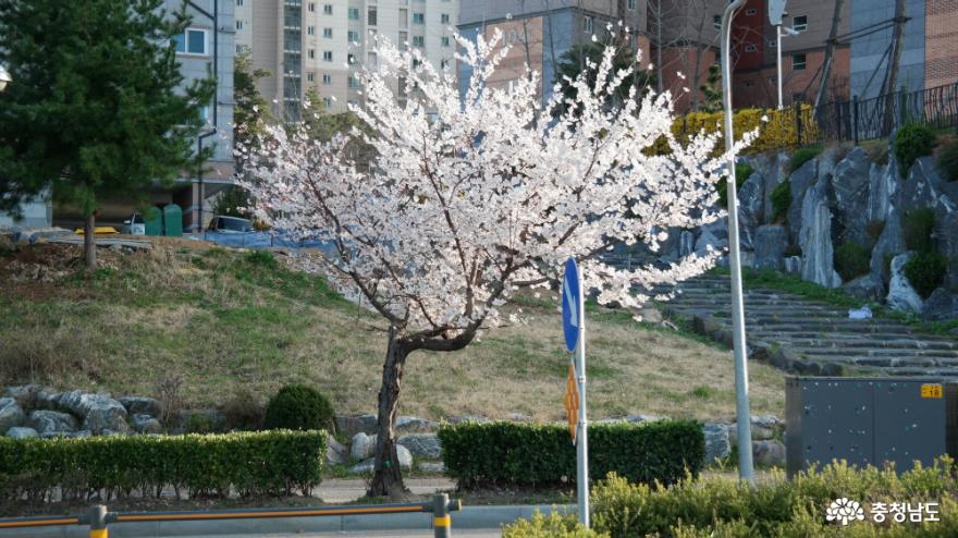 사회적 거리두기로 호젓한 동네 봄꽃맞이 산책길