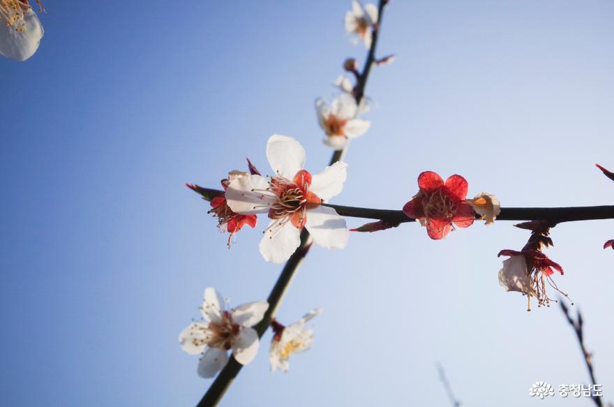 매화꽃 향기 가득한 아산 정매원