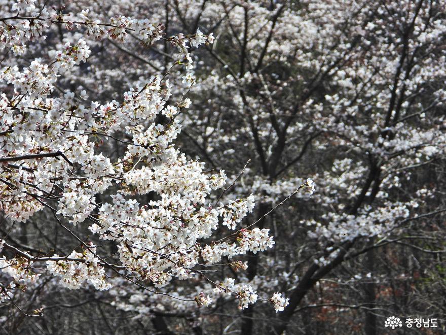 풍성해지는 25리 벚꽃길을 가다