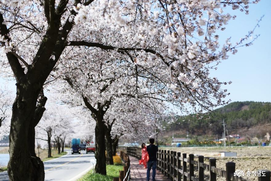 천안 벚꽃 드라이브, 15km의 낭만