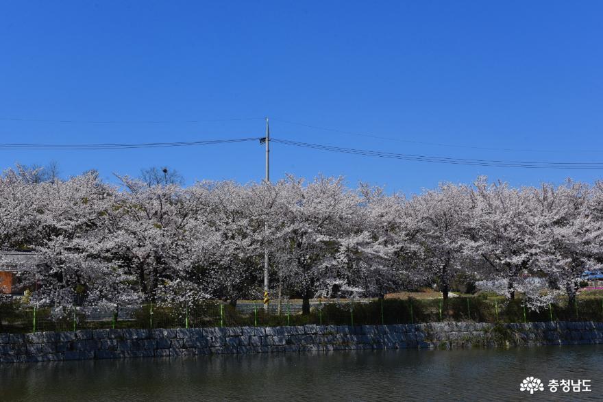 골정지 벚꽃