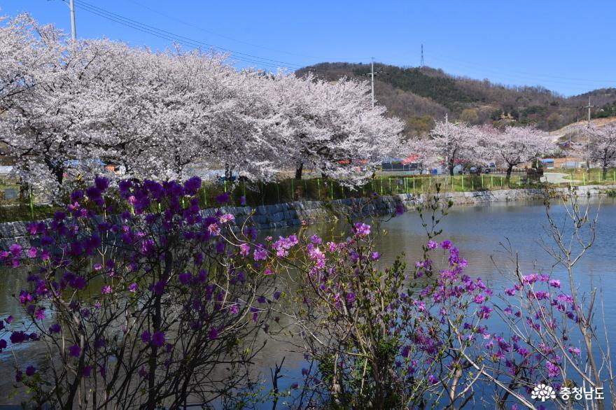 벚꽃과 진달래