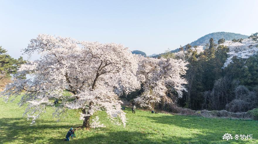 벚꽃을 담는 열정의 진사님들