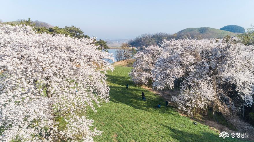 꽃 활짝 피운 서산 용비지 인근 벚나무