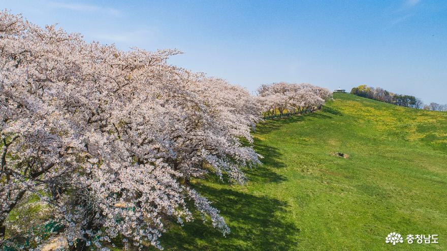 하얗게 물든 서산목장 벚꽃길#1