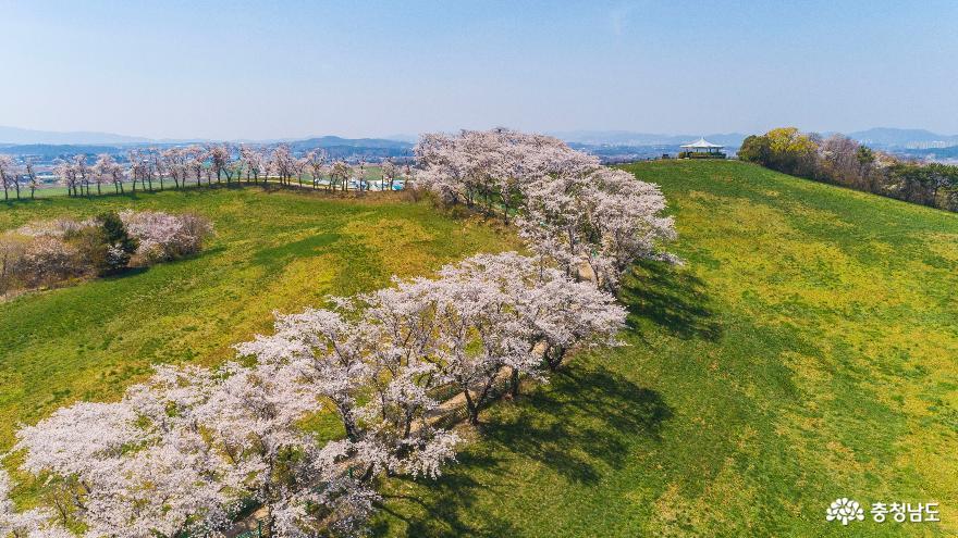 하얗게 물든 서산목장 벚꽃길#2