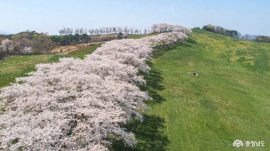 하얗게 물든 서산목장 벚꽃길#3