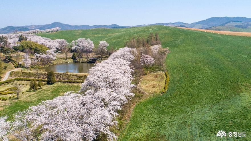 하얗게 물든 서산목장 벚꽃길#4