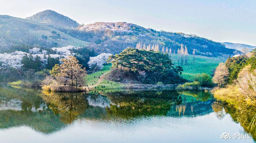 벚꽃이 흐드러지게 핀 서산 목장의 '10리 벚꽃길과 용유지'