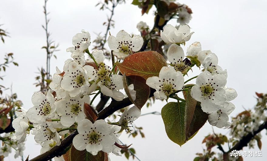 봄비를 머금은 배꽃[梨花]이 희더라