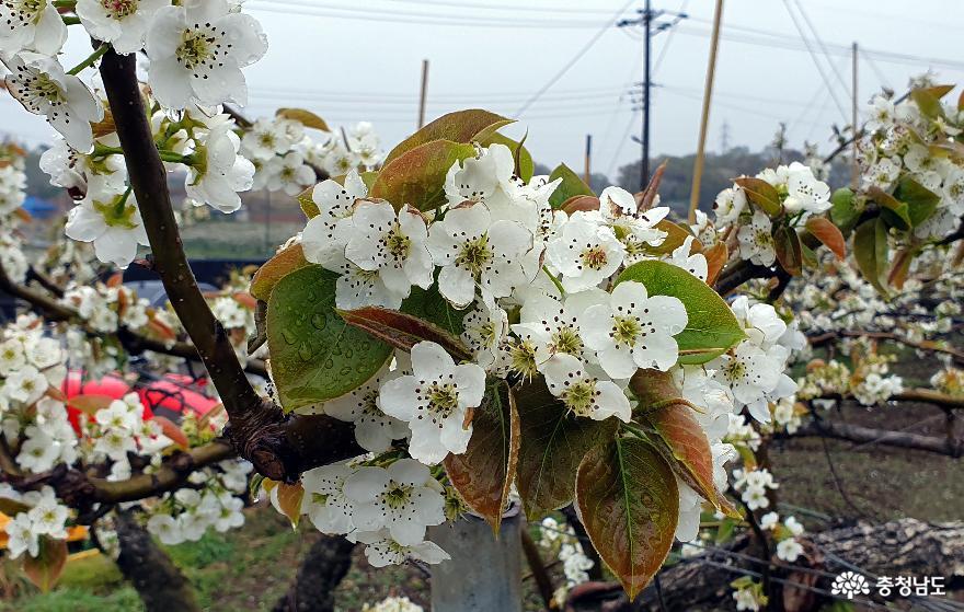 봄비를 머금은 배꽃2.