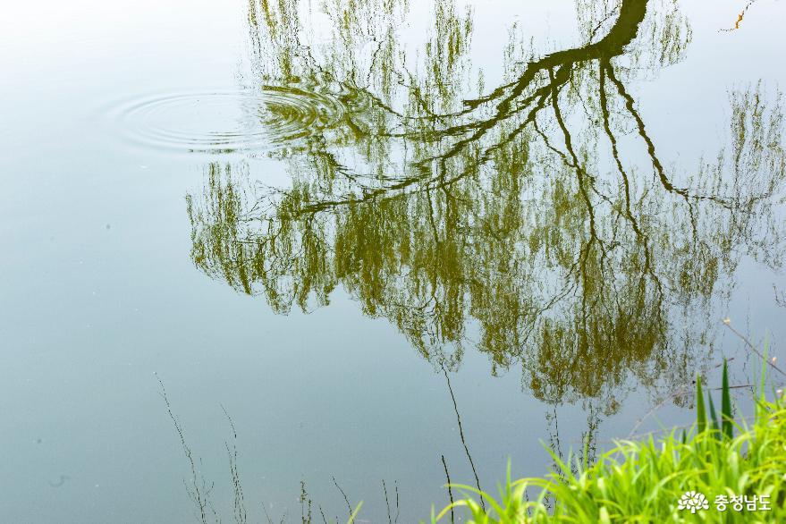 연못에 투영된 수양버들