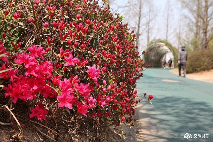 봄꽃 가득한 아산 신정호공원 3