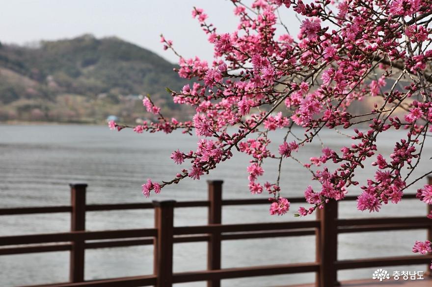 봄꽃 가득한 아산 신정호공원 7