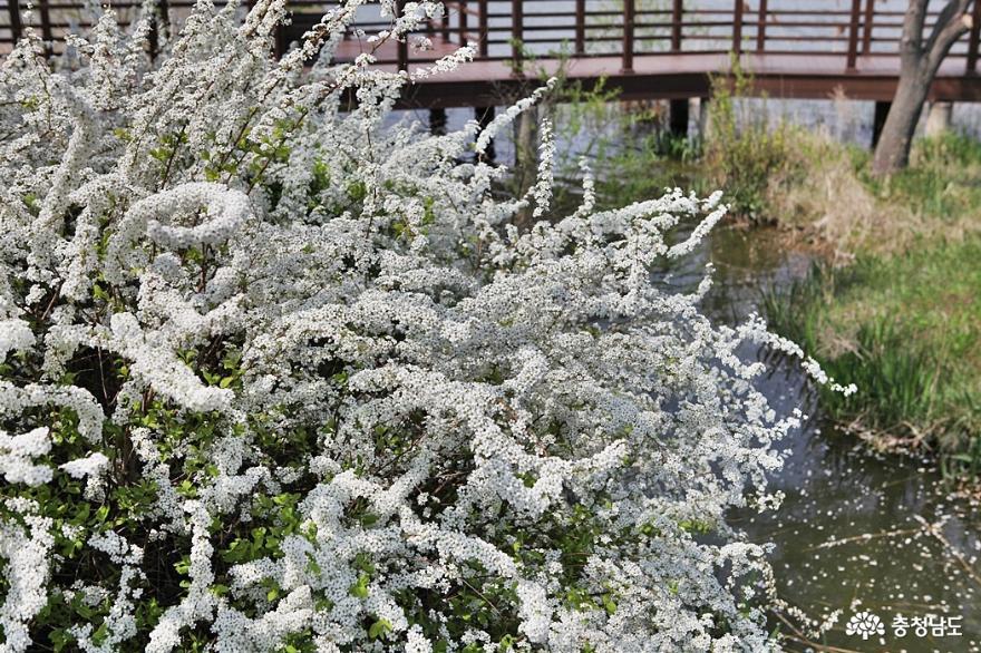 봄꽃 가득한 아산 신정호공원 9