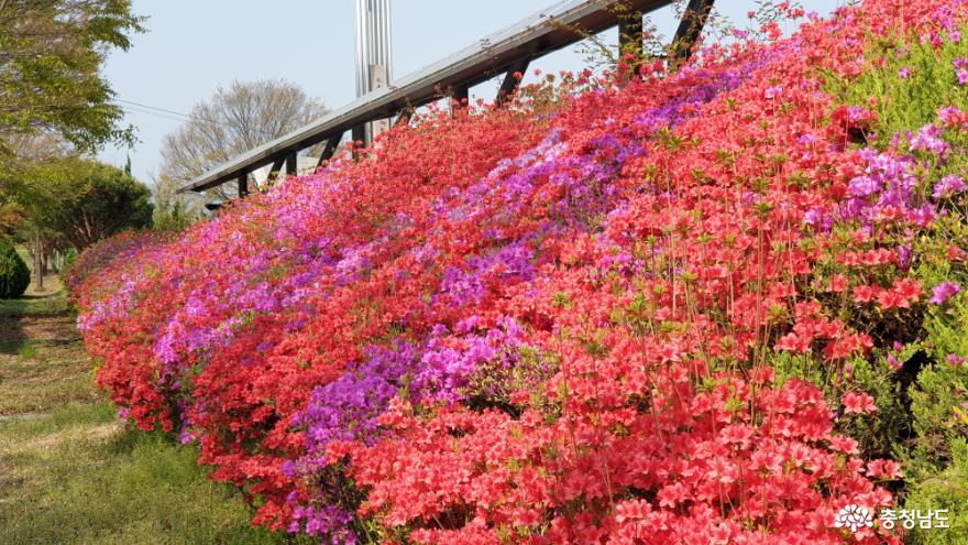 공주 웅진동의 환한 꽃길을 자랑함