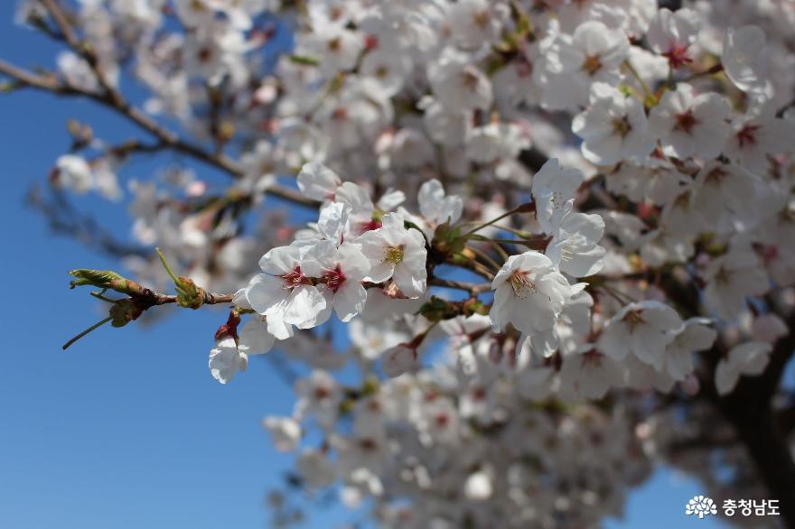 천안 청수호수공원에 핀 벚꽃