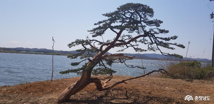 [사진보도] 부여 양화 강변 유왕산의 진백〈향나무〉에 피는 백제향