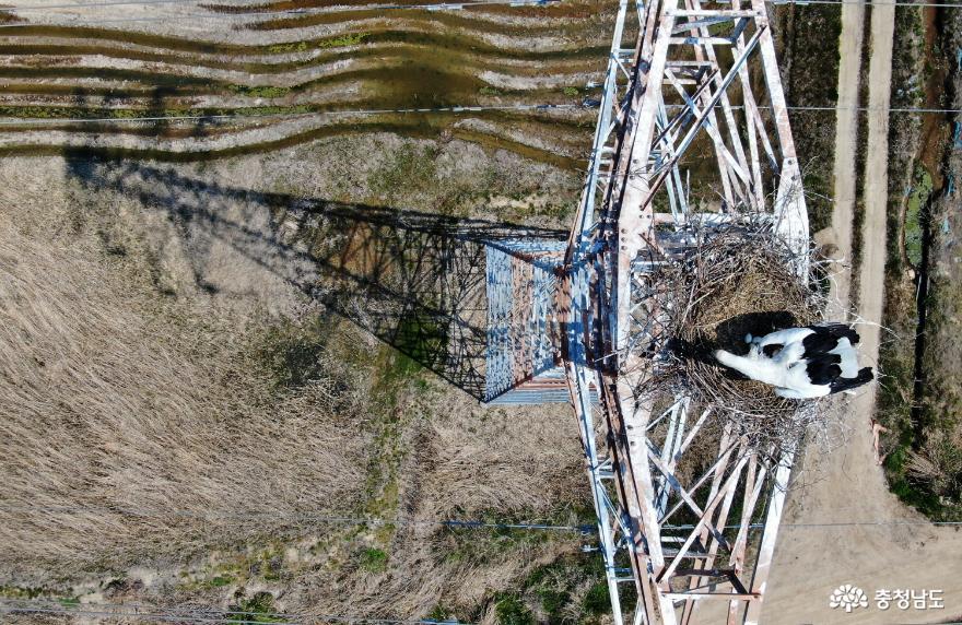 [사진보도] 멸종위기 1급 천연기념물 '황새', 태안군 남면 달산리 일원 송전탑에 둥지 틀고 알 낳아! 극히 이례적인 일