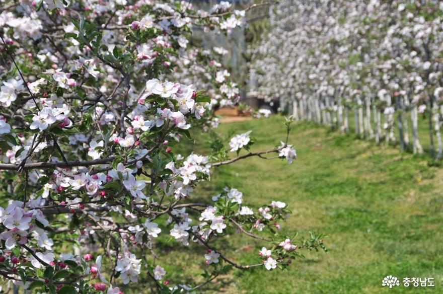 예산 친환경 사과농장 돌다리농원에서 사과꽃 향기에 취하다