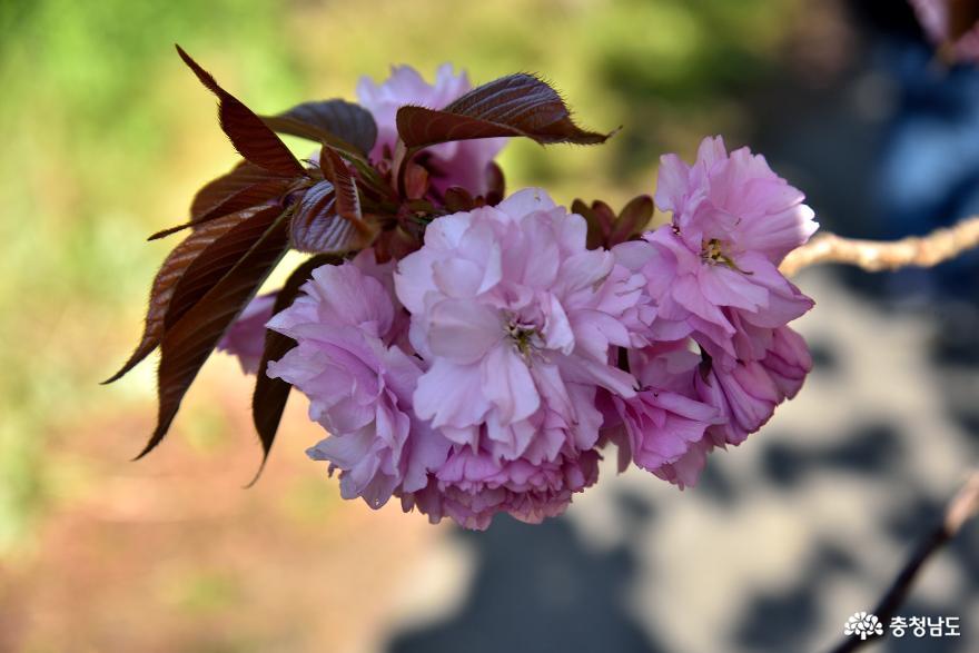 분홍 겹벚꽃이 피어난 문수사