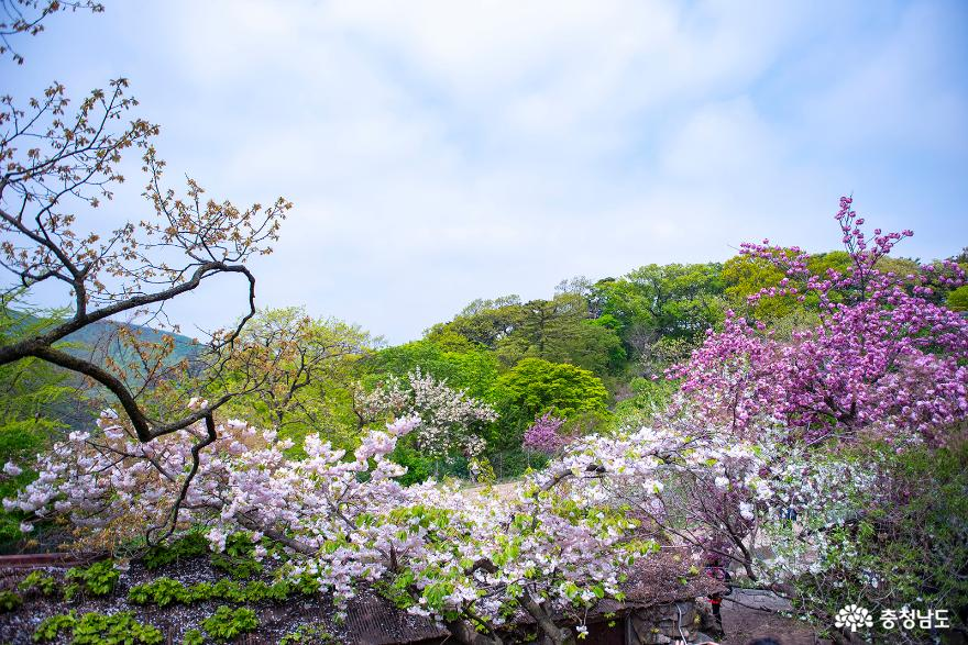 서산 개심사 청벚꽃, 겹벚꽃 등 활짝 피어