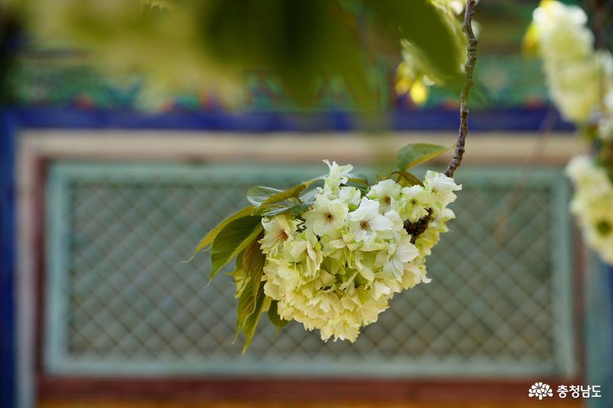 서산 개심사, 청벚꽃과 어우러진 절집 풍경