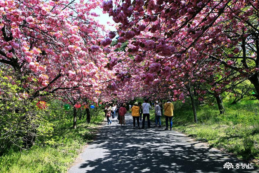 서산 문수사 겹벚꽃 분홍빛 터널을 걷다