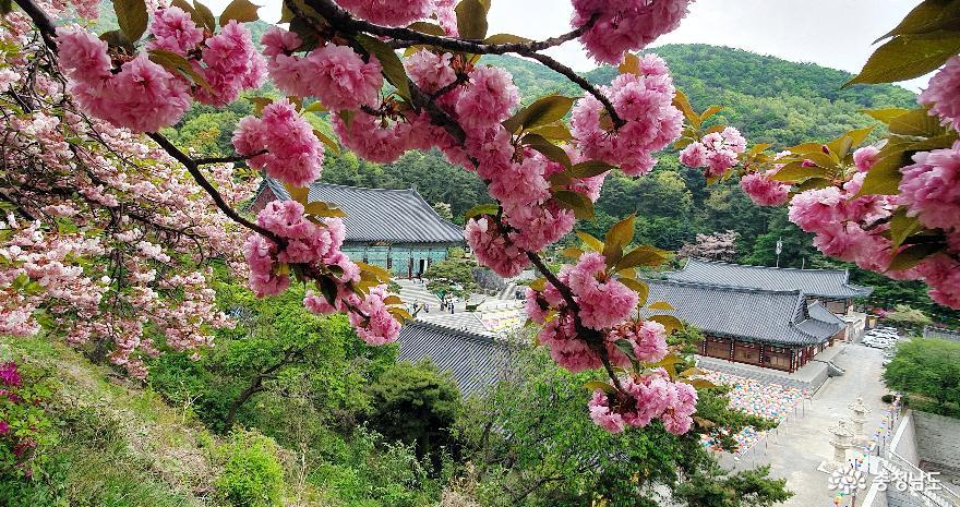 봄의 끝자락이 아쉬운 겹벚꽃 포동포동 '만개'