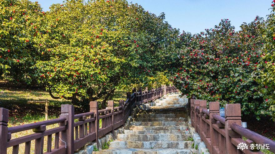 수령 500년 된 울창한 동백나무 숲