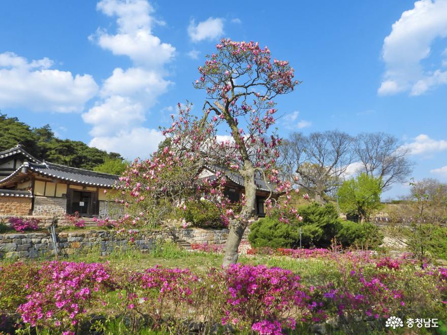 철쭉꽃 활짝 핀 논산 명재고택 사진