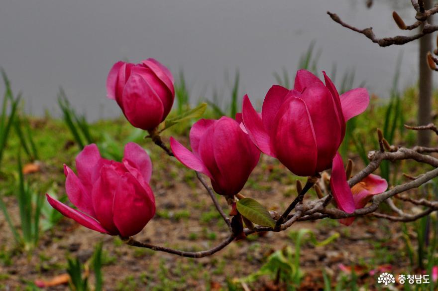 초봄에 피어나는 볼칸목련