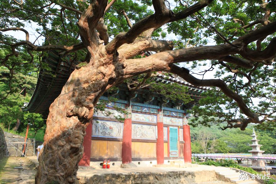 계룡산 신원사 배롱나무