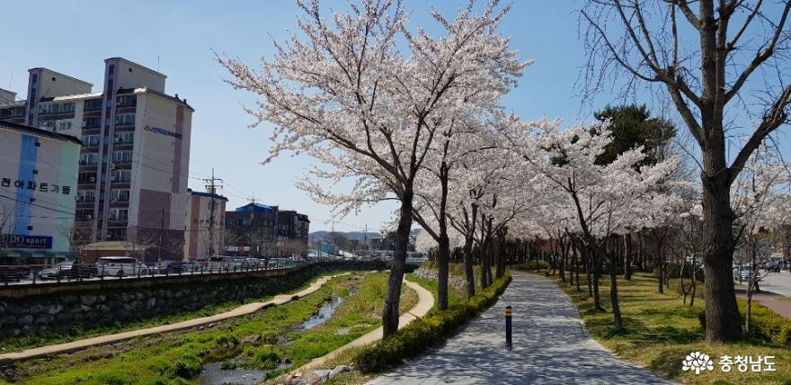 벚꽃이 만개한 홍성 대교공원, 긴하천을 따라 조성된 대교공원은 주민들에게 충분한 쉼터가 되어오고있다